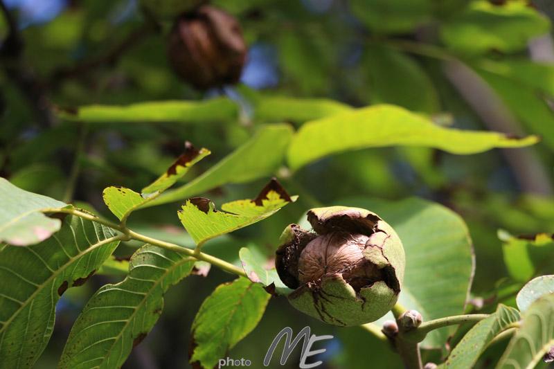 makro_walnut