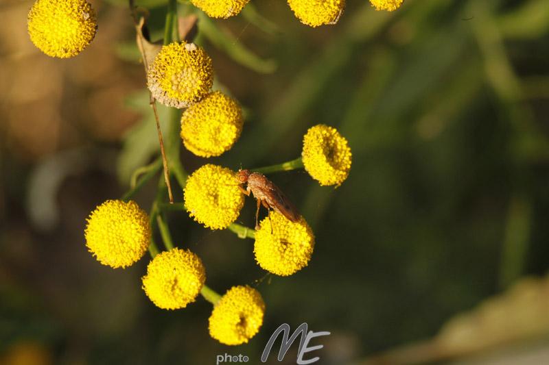 makro_flower_beetle
